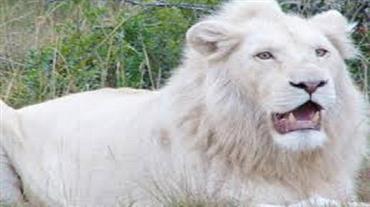 نفوق-أسد-أبيض-نادر