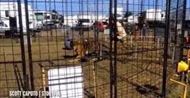 نمر يسحل مدربته