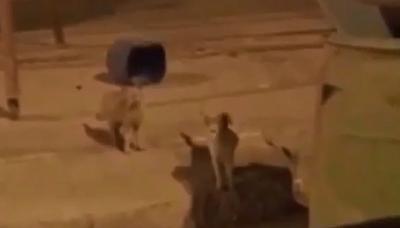 هروب اسد بحفر الباطن