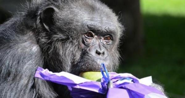 قردة-الشيمبانزي