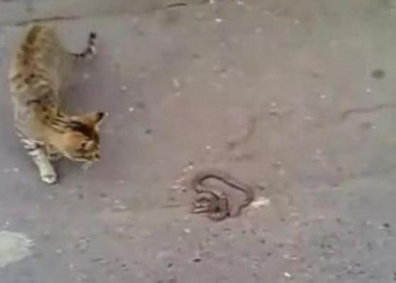 قطة-وثعبان