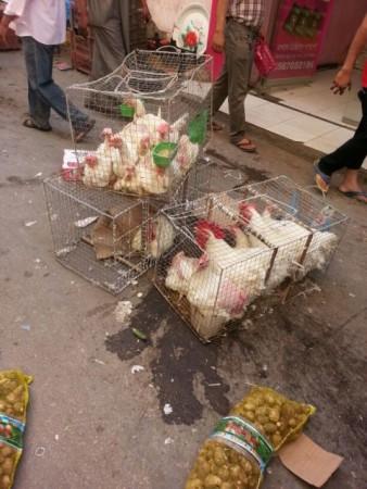 دجاج (1)