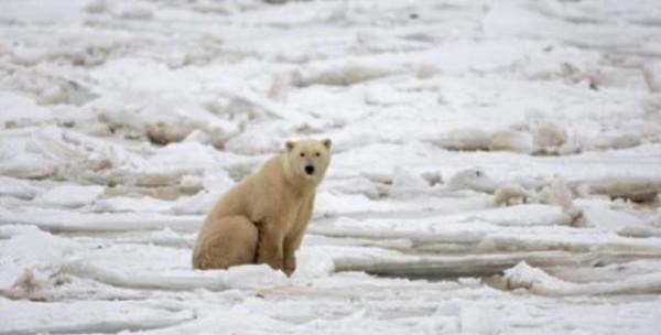 الدب-القطبي