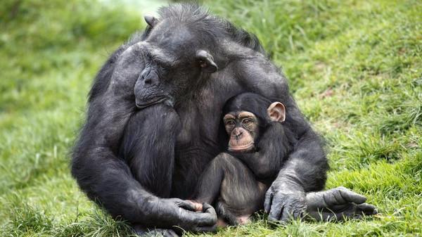 """رفض دعوى قضائية تطالب بإطلاق سراح """"شمبانزي"""""""