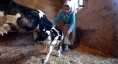 بالصور.. مولد عجل برأسين في المغرب يجذب اهتمام السكان المحليين - المواطن