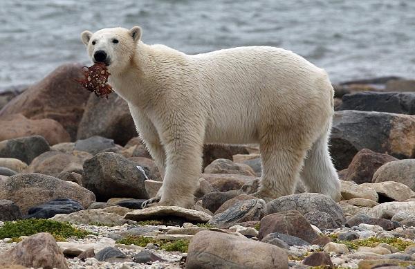 File of a polar bear holding onto a piece of meat along the shore of Hudson Bay near Churchill