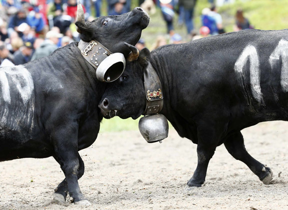 """Two Herens cows lock horns during the qualification round of the annual """"Battle of the Queens"""", a traditional Swiss cow-fighting competition, in Aproz"""