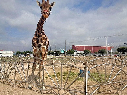 Tall Story Of Giraffe Running Away From The Circus