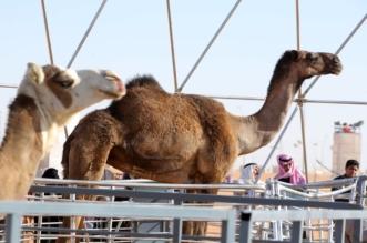 مهرجان الملك عبدالعزيز للإبل.. استعراض 14 منقية في فئة جمل 100 صفر - المواطن