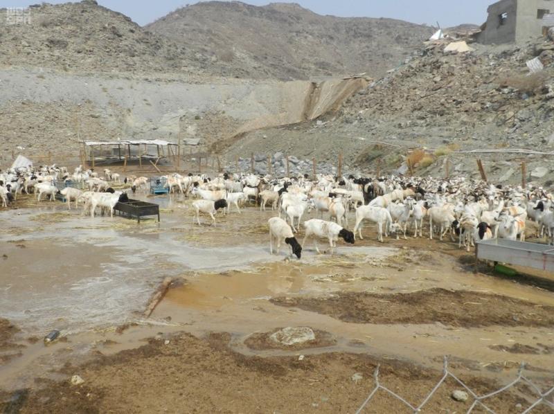 بالصور.. إزالة 40 حظيرة ومصادرة 250 رأسًا من المواشي بمكة