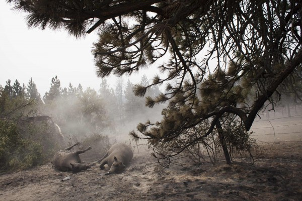 Dust blows over deceased cattle, which fell victim to the Carlton Complex Fire, on ranch land near Malott, Washington