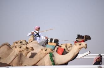 قصة مصورة.. حفل ختام مهرجان الملك عبدالعزيز للإبل كما لم تشاهده من قبل - المواطن