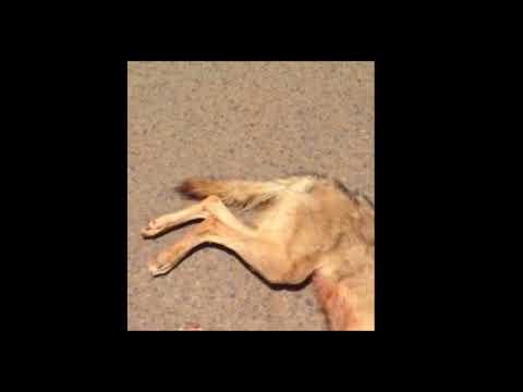 بالفيديو.. مواطن يقتل ذئباً روع الأهالي بحائل