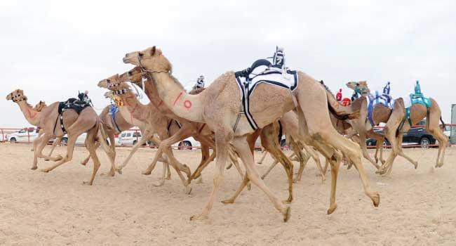 45 مليون ريال جوائز مهرجان ولي العهد للهجن تثري قطاع الإبل وتدعم الرياضة العربية الأصيلة