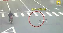 شاهد.. كلب يسبب كارثة على الطريق! - المواطن