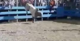 بالفيديو.. ركلة قاسية من ثور تطيح برجل وتسقطه أرضاً - المواطن