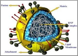 ماذا تعرف عن فيروس نيباه القاتل Nipah virus ؟