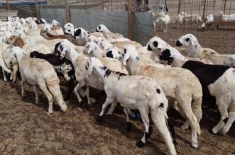 القبض على 4 مقيمين ومخالف سرقوا 580 رأساً من الماشية في مكة - المواطن