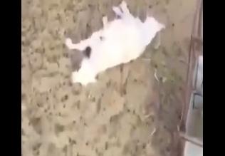 بالفيديو.. مواطن يوثق افتراس الكلاب لـ61 رأسًا من الغنم بنجران - المواطن