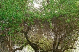 مبادرة زراعة مليوني شجرة سدر برجال ألمع تستقطب العديد من المتطوعين - المواطن