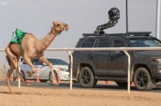بالصور.. شاهين يحقق النجومية في مهرجان ولي العهد للهجن - المواطن