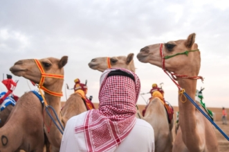 جوائز بـ436 ألف ريال.. انطلاق أشواط الماراثون بمهرجان ولي العهد للهجن غدًا - المواطن