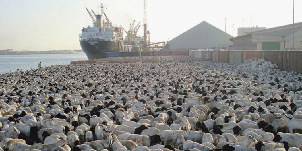 فسح أكثر من مليون رأس من الماشية في موسم الحج عبر ميناء جدة