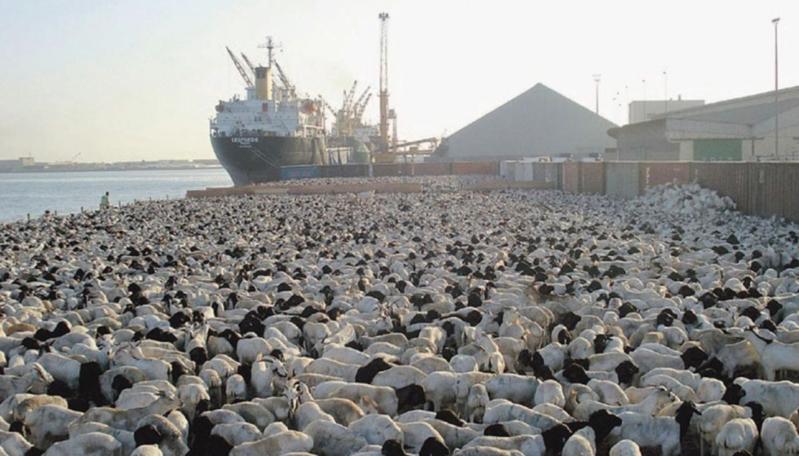 وصول 27827 رأسًا من المواشي من رومانيا وإثيوبيا وجيبوتي للمملكة