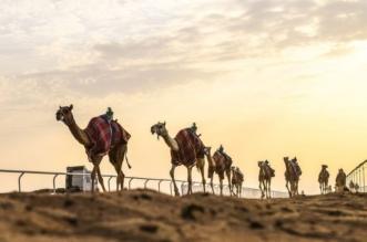 عقوبات بحق 3 مشاركين بمهرجان الملك عبدالعزيز للإبل - المواطن