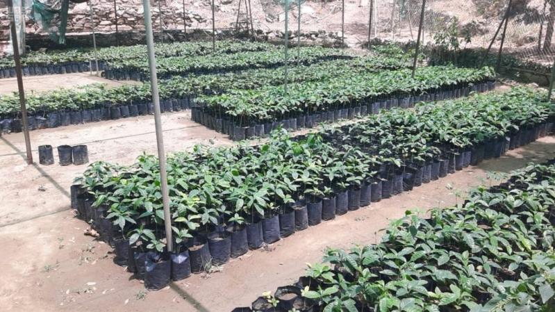 70 مزرعة بُن ومانجو نموذجية في جازان