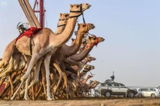 منافسة 7 أيام و45 مليون ريال جوائز ضمن مهرجان ولي العهد للهجن - المواطن