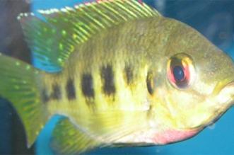 حظر استيراد أسماك الزينة من المكسيك - المواطن