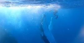مشهد مثير لحوت أحدب يلعب مع غواص - المواطن