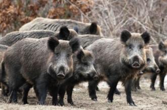 الصين تواجه تفشي حمى الخنازير بإعدامها - المواطن