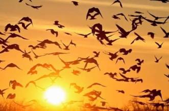 الحياة الفطرية تحتفي باليوم العالمي للطيور المهاجرة: سواحل المملكة أكثر أمناً - المواطن