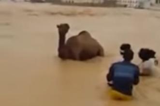 فيديو.. عملية إنقاذ مثيرة لجمل في سيول المهرة - المواطن