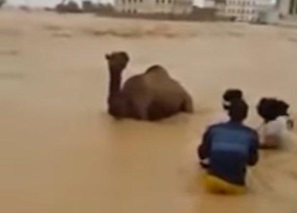 فيديو.. عملية إنقاذ مثيرة لجمل في سيول المهرة