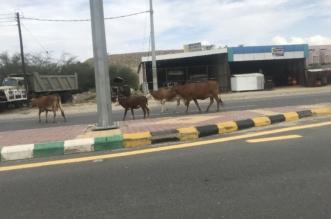 صور.. انتشار السائبة على الطريق الدولي بمحايل يُنذر بكارثة.. والبلدية ترد - المواطن