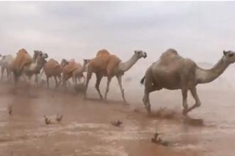 فيديو وصور.. مشهد بديع يجمع الإبل والضباب والمطر في صحراء الدوادمي - المواطن