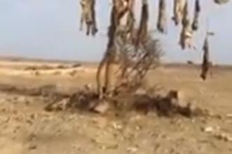 فيديو صادم.. قتل 12 ذئبًا وتعليقهم على الأشجار بإحدى المناطق - المواطن