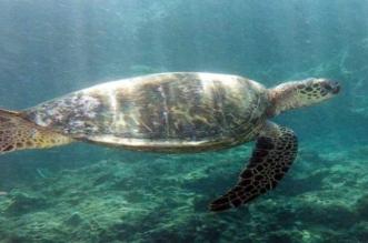 تحذير من البيئة بشأن صيد السلاحف.. عقوبات بحق المخالفين - المواطن