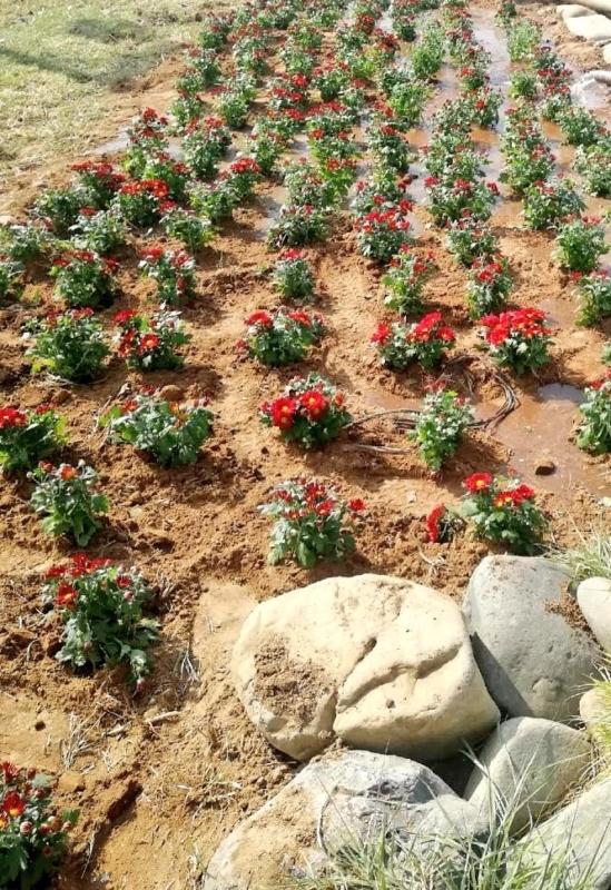 صور.. محايل تستبق موسم الشتاء بزراعة 30 ألف وردة - المواطن
