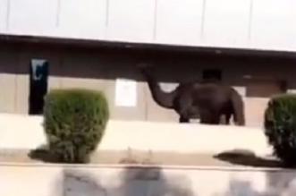 فيديو.. جمل سائب داخل مستشفى حكومي بنجران - المواطن