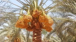 مصر تنشئ أكبر مزرعة تمور في العالم.. تضم 2.5 مليون نخلة