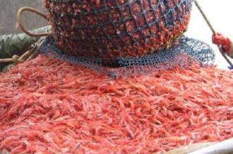 أسواق الأسماك تستقبل باكورة صيد الروبيان - المواطن