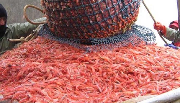 أسواق الأسماك تستقبل باكورة صيد الروبيان