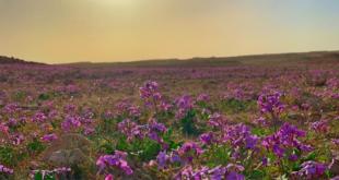 الزعاق: موسم الربيع يبدأ بعد 13 يوماً