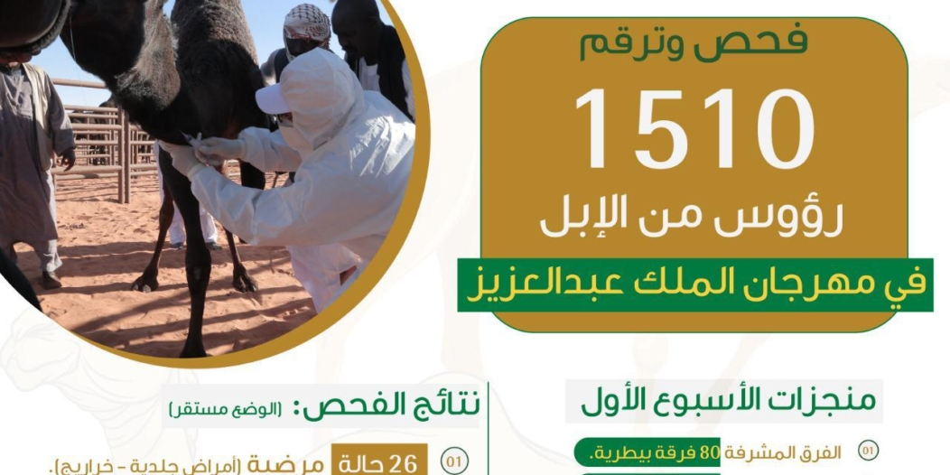 خلال أسبوع.. فحص وترقيم 1500 رأس من الإبل بمهرجان الملك عبدالعزيز