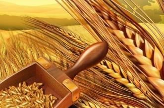 ترسية الدفعة الأولى من القمح المستورد لشراء625 ألف طن هذا العام - المواطن