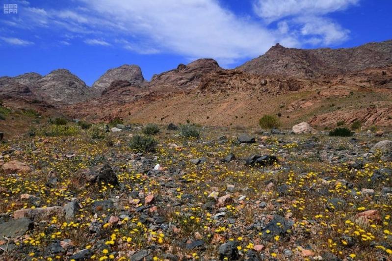 صور جبل اللوز يودع الشتاء ويكتسى الأخضر صحيفة المواطن الإلكترونية